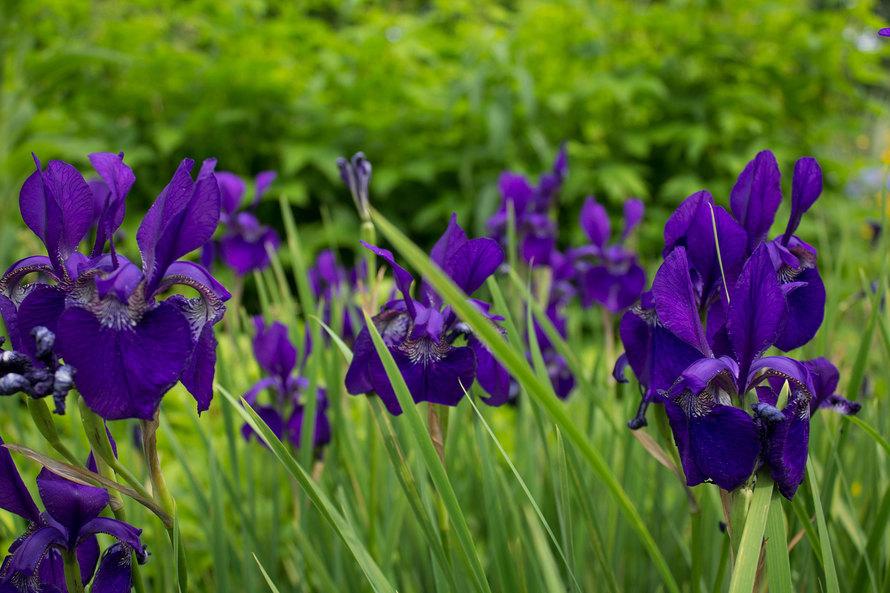 iris-kipling
