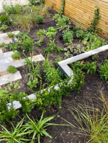Rosa viviviansk garden newly planted